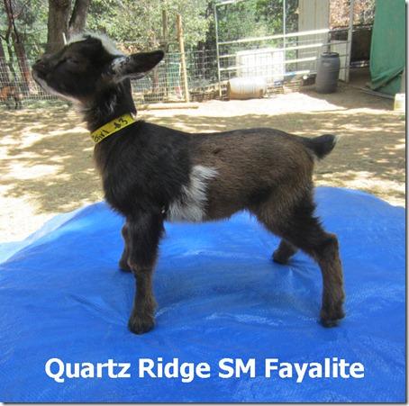 QRR-SM-Fayalite