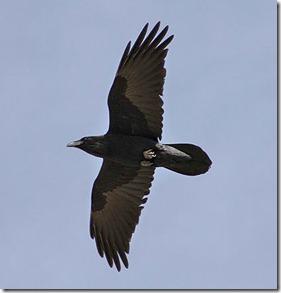common_raven_sim_2